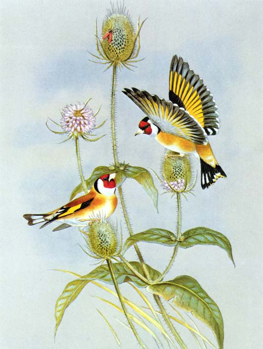 John Gould Goldfinch stretched canvas art print