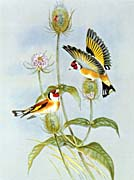 John Gould Goldfinch canvas prints