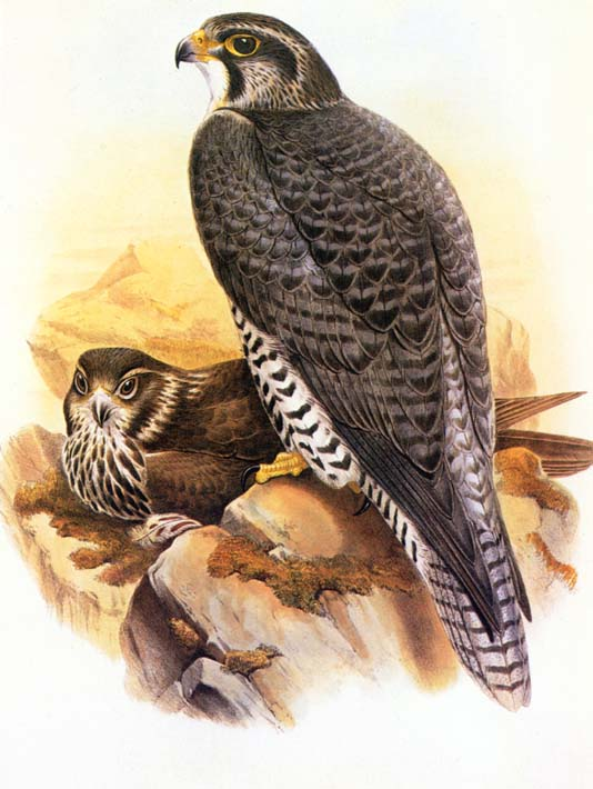 John Gould Gyrfalcon stretched canvas art print