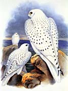 John Gould Gyrfalcon   Greenland Falcon canvas prints