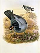 John Gould Hooded Crow