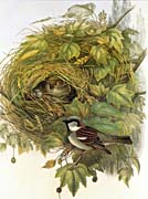 John Gould House Sparrow