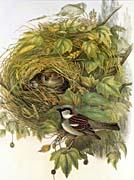 John Gould House Sparrow