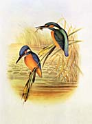 John Gould Kingfisher