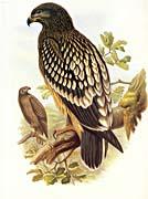 John Gould Lesser Spotted Eagle