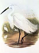 John Gould Little Egret