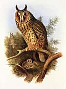 John Gould Long-Eared Owl