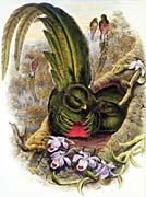 John Gould Quetzal
