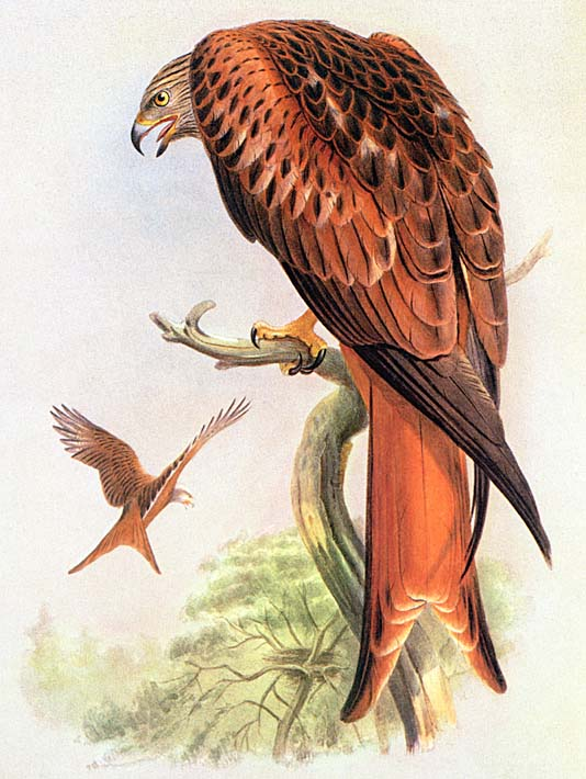 John Gould Red Kite stretched canvas art print