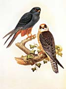 John Gould Red-Footed Falcon