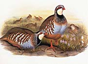 John Gould Red-Legged Partridge