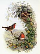 John Gould Robin canvas prints