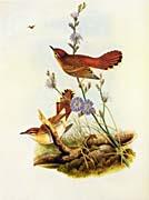 John Gould Rufous Warbler