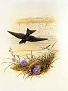 John Gould Sand Martin canvas prints