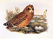 John Gould Short Eared Owl canvas prints