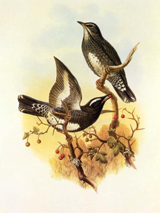 John Gould Siberian Thrush stretched canvas art print