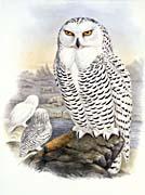 John Gould Snowy Owl canvas prints