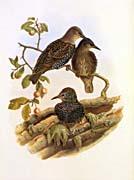 John Gould Starling