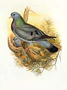 John Gould Stock Dove