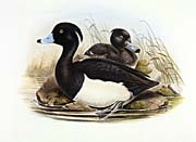John Gould Tufted Duck