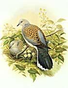 John Gould Turtle Dove