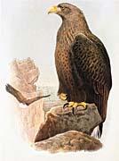 John Gould White-Tailed Eagle