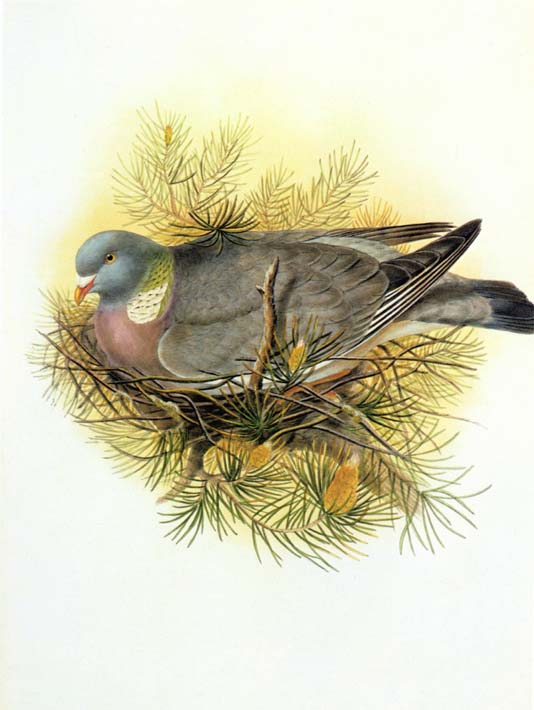 John Gould Wood Pigeon stretched canvas art print