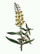William Curtis Bulb Bearing Loosestrife
