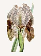 William Curtis Chalcedonian Iris