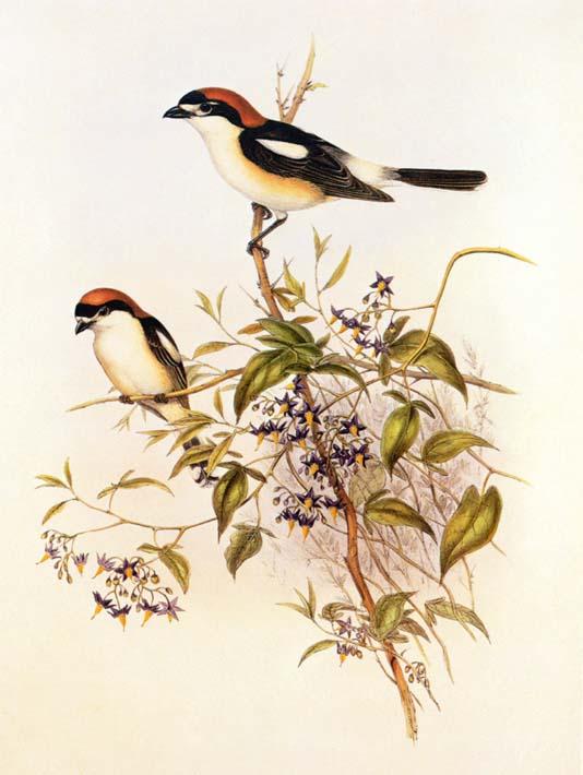 John Gould Woodchat Shrike stretched canvas art print