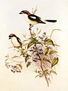 John Gould Woodchat Shrike
