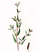 Thomas Meehan Blue Wax-Weed