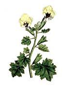 William Curtis Golden Flowered Henbane