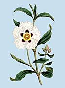 William Curtis Gum Cistus