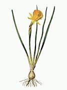 William Curtis Hoop-Petticoat Narcissus