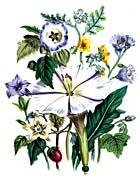 Jane Loudon Flower Art Print