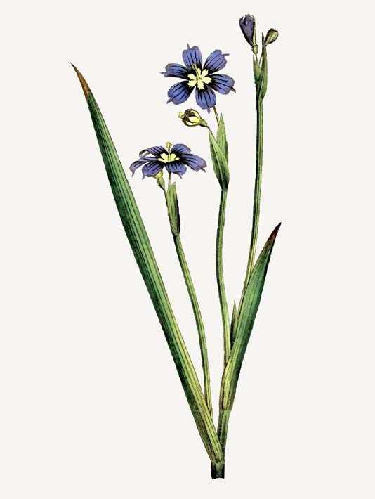 William Curtis Iris-Leaved Sisyrinchium stretched canvas art print