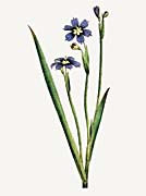 William Curtis Iris Leaved Sisyrinchium canvas prints