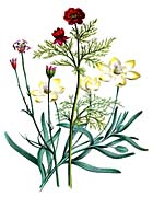 Jane Loudon Flowers