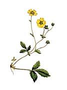 William Curtis Large Flowered Potentilla canvas prints