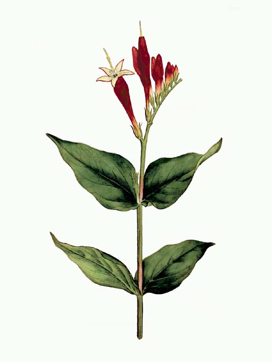 William Curtis Maryland Spigelia stretched canvas art print