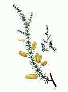 William Curtis Mimosa Verticillata
