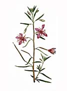 William Curtis Narrowest Leaved Willow Herb canvas prints