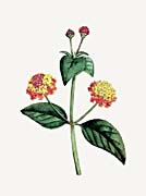 William Curtis Prickly Lantana