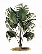 Thomas Meehan Fan Palm Tree
