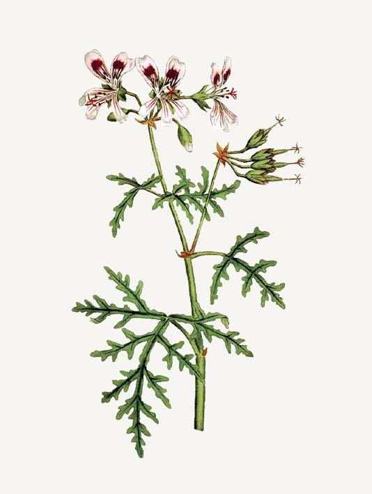 William Curtis Rasp-Leaved Geranium stretched canvas art print