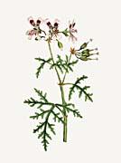 William Curtis Rasp-Leaved Geranium