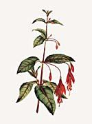 William Curtis Scarlet Fuchsia