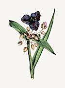 William Curtis Spiderwort