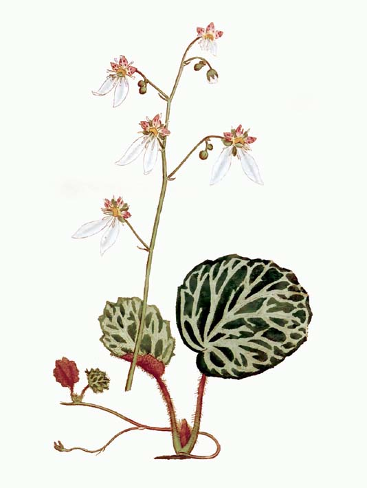 William Curtis Strawberry Saxifrage stretched canvas art print